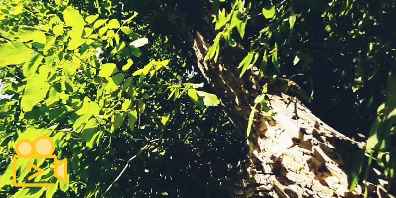 درخت کهنسال گردو