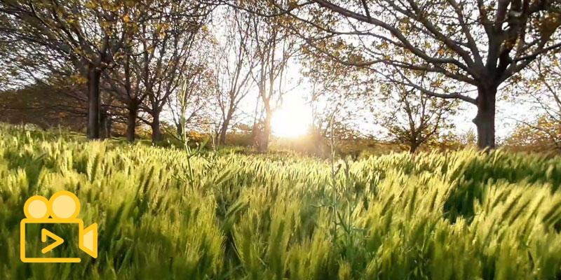 درخت گردو و بهار