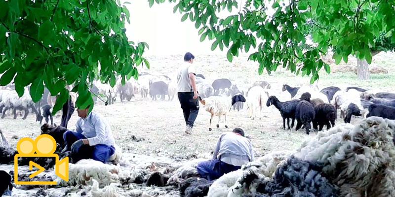 مستند شستن و چیدن پشم گوسفندها