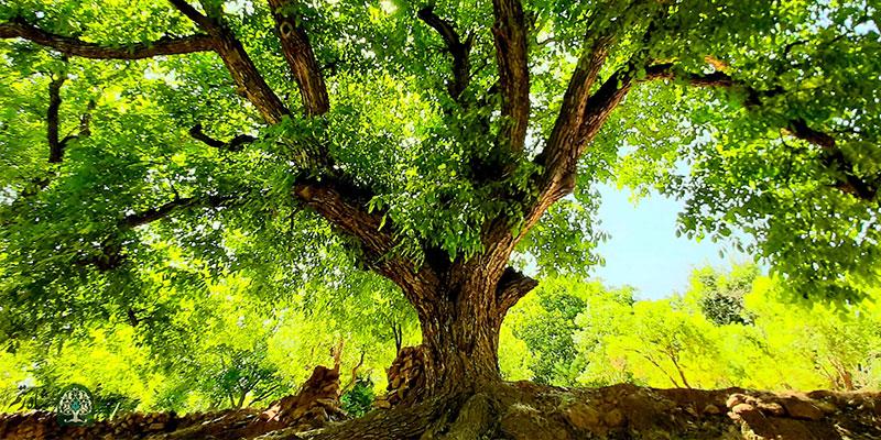 درخت کهنسال (میراث طبیعی ارزشمند)